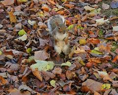Squirrel in leaf litter