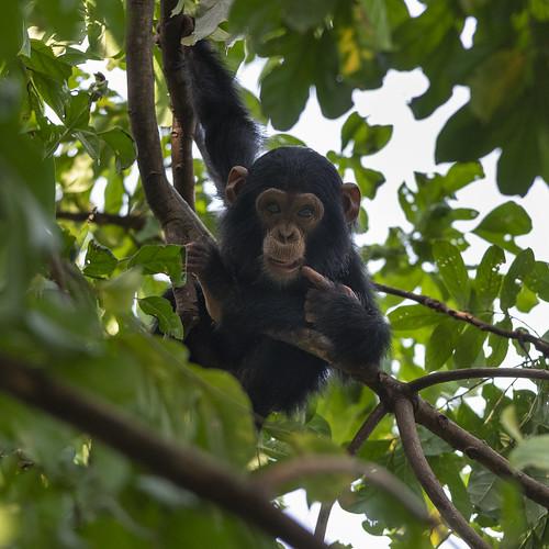 Baby chimp in the wild | Chimpanzee trek in Gombe | Flickr