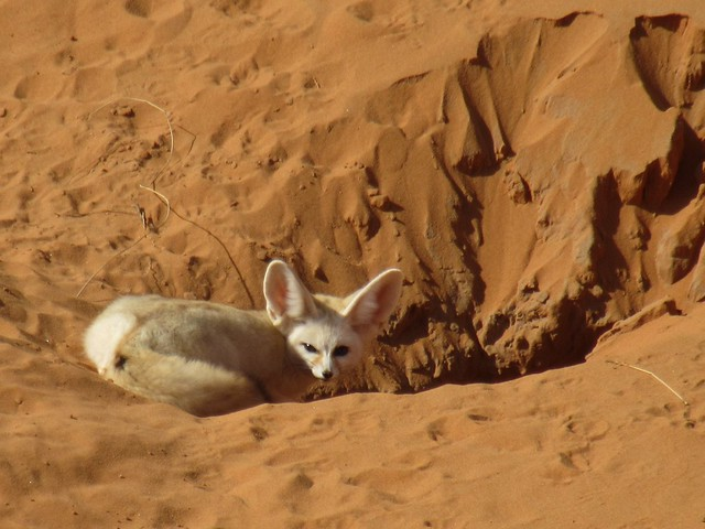 Fennec fox in Morocco