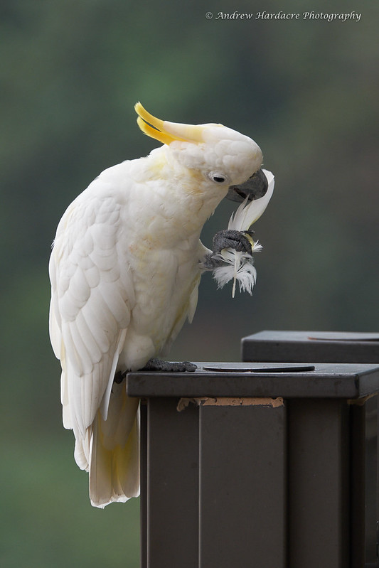 Yellow-crested Cockatoo preening and removing feather
