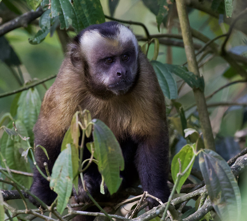 Brown (or Tufted) Monkey, Cebus apella 199A6434