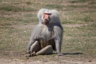 Sacred baboon | by Gabriel Paladino Photography