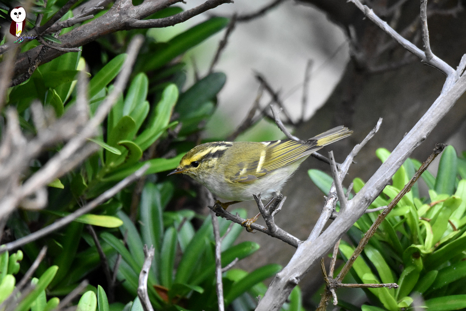 Yellow-browed_Warbler_6194