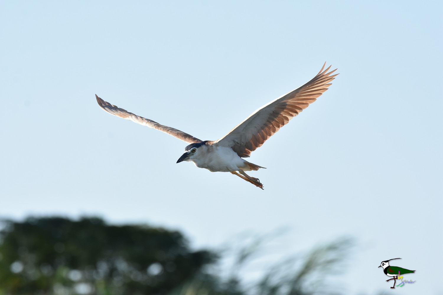 Rufous_Night_Heron_9613