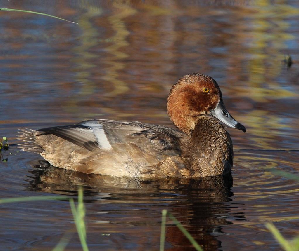 Redhead Duck Aransas NWR 10-18