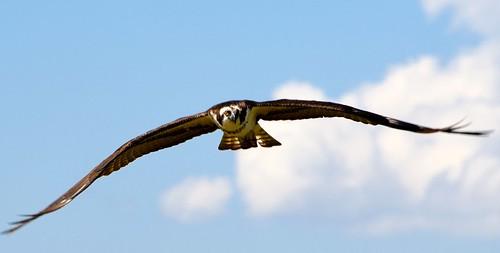 apollobeach bird birdswyeview clouds d850 eyetoeye flight florida flying humor imran nikon osprey puns sky tampabay wildlife