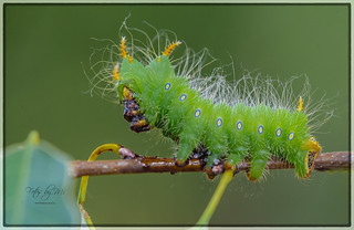 Imperial Moth Caterpillar (Eacles imperialis)_1739