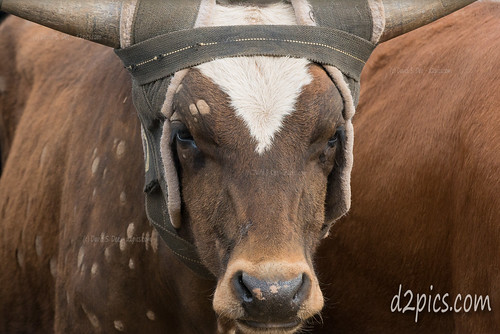 bull rodeo kiowa co us