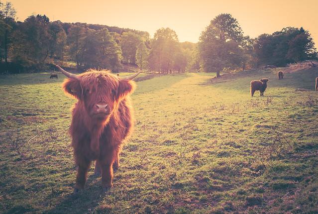 Scottish highland cattles