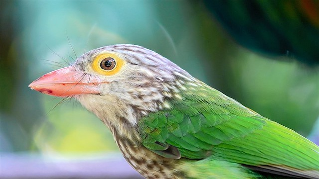 Leinet Barbet