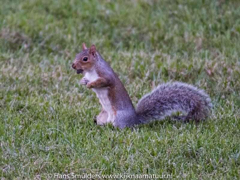 Eastern Gray Squirrel (Sciurus carolinensis)-818_6618