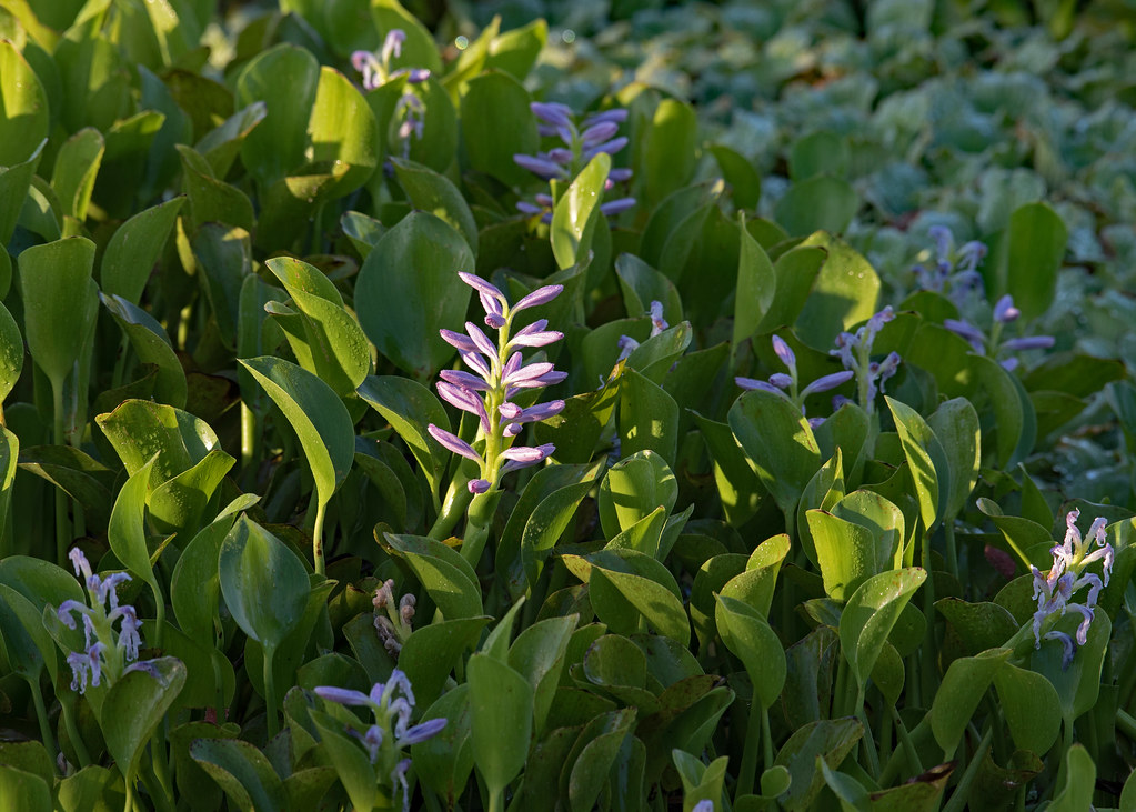 Water Hyacinth! (with a side of lettuce)