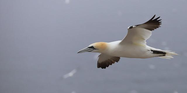Gannet In Flight!