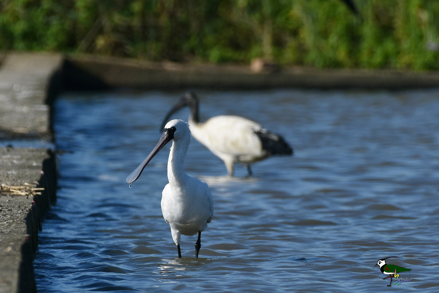 Black-faced_Spoonbill_9983
