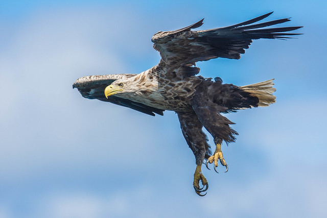 Mighty white-tailed eagle (zeearend - Haliaeetus albicilla)