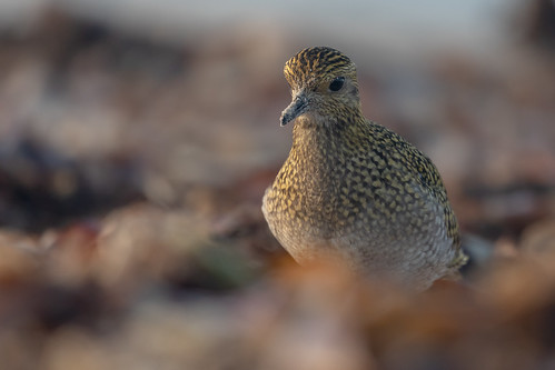 Goldregenpfeifer [European golden plover] | by Songs.Ohia