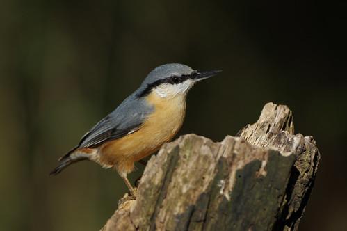 bird wild wildlife nature barnwellcountrypark northamptonshire nuthtach sittaeuropaea