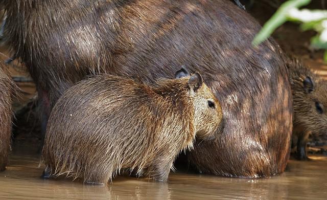 Capybara Youngster (Hydrochoerus hydrochaeris)