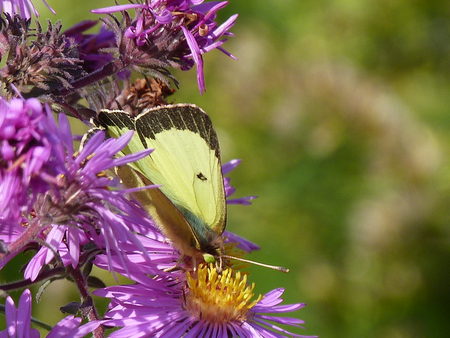 P1200951  CLOUDED SULPHUR ON NEW ENGLAND ASTER