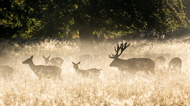 Red deers in Dyrehaven