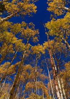 Yellow Aspens - Maroon Creek Road, Aspen, Colorado in Autu