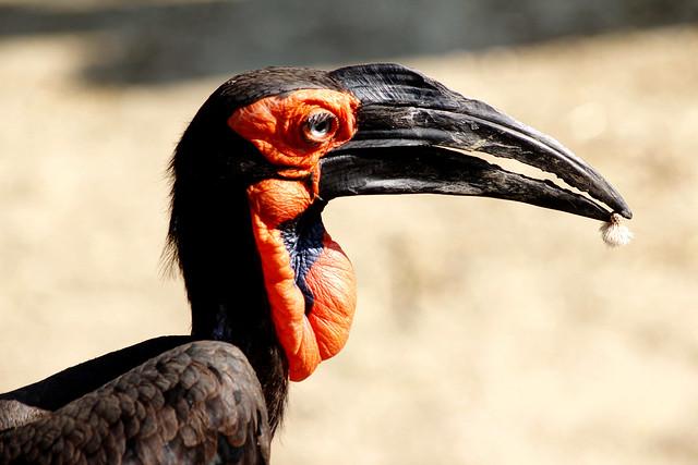 Rotwangenhornrabe (Bucorvus leadbeateri) - Red-cheeked Hornbill