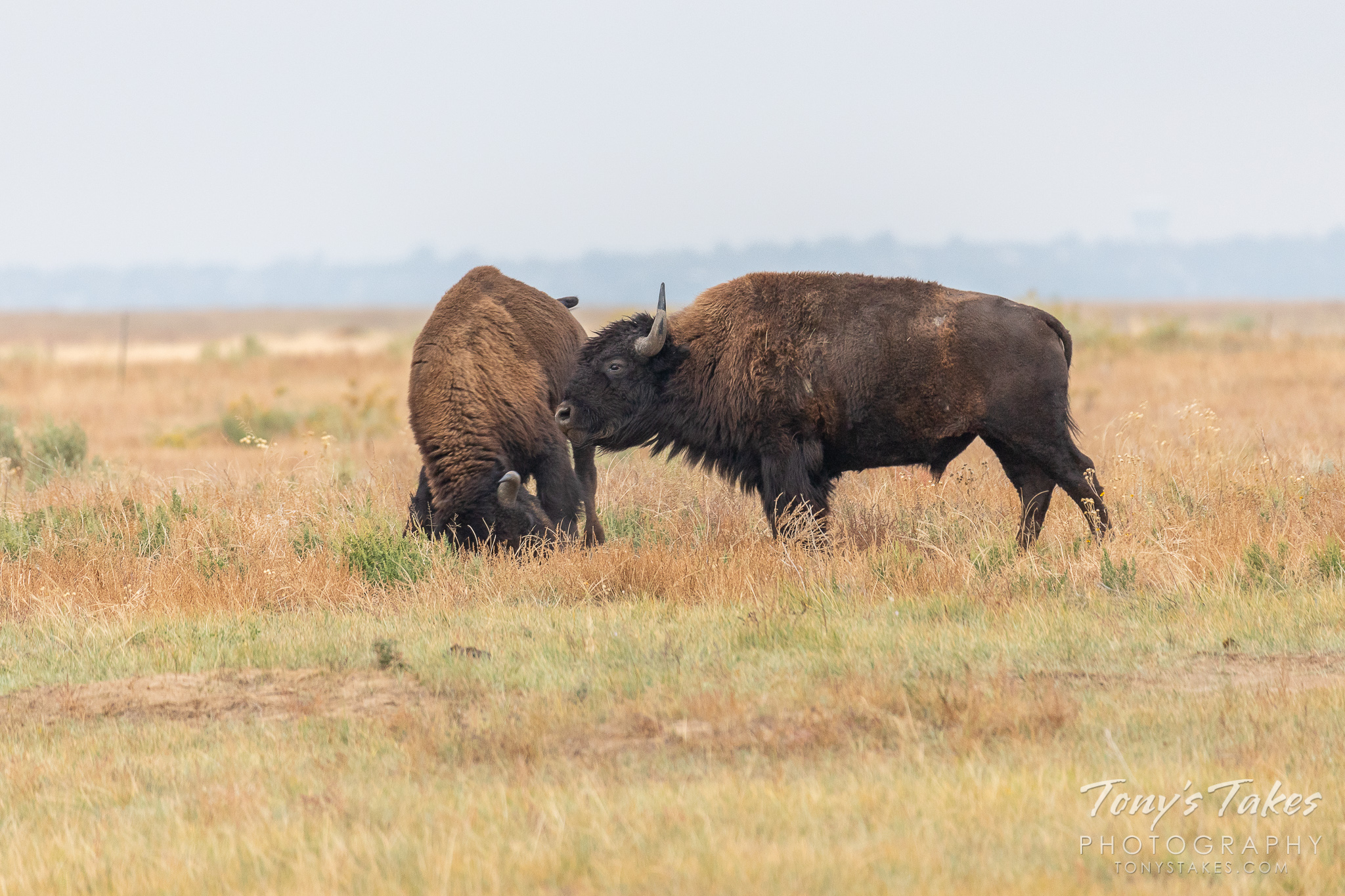 A pair of Bison bulls battle head to head at the Rocky Mountain Arsenal National Wildlife Refuge. (© Tony's Takes)
