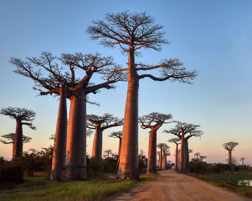 Avenue of Baobabs | Madagascar | Rod Waddington | Flickr