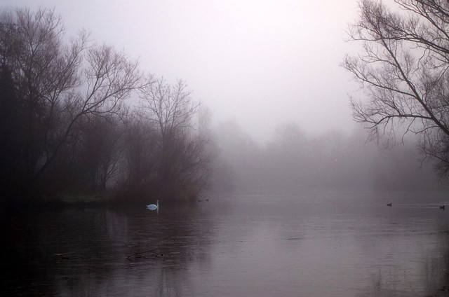 Swan in the mist.
