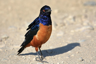 Hildebrandt's starling | by dmmaus