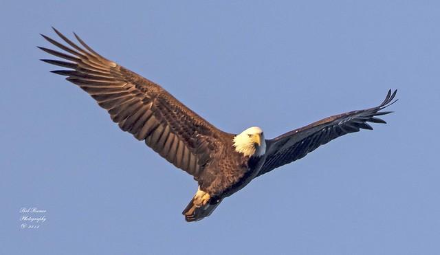 Bald Eagle. (Explored)