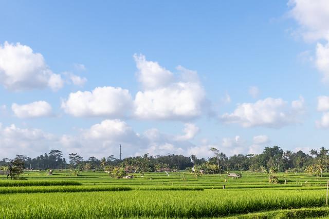A beautiful rice field view. Bali island.