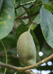 Crataeva religiosa fruit