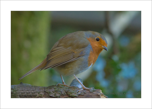 Robin on a perch