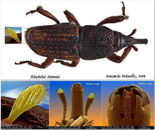 Maize weevil (Sitophilus zeamais); Rice weevil (Sitophilus oryzae)