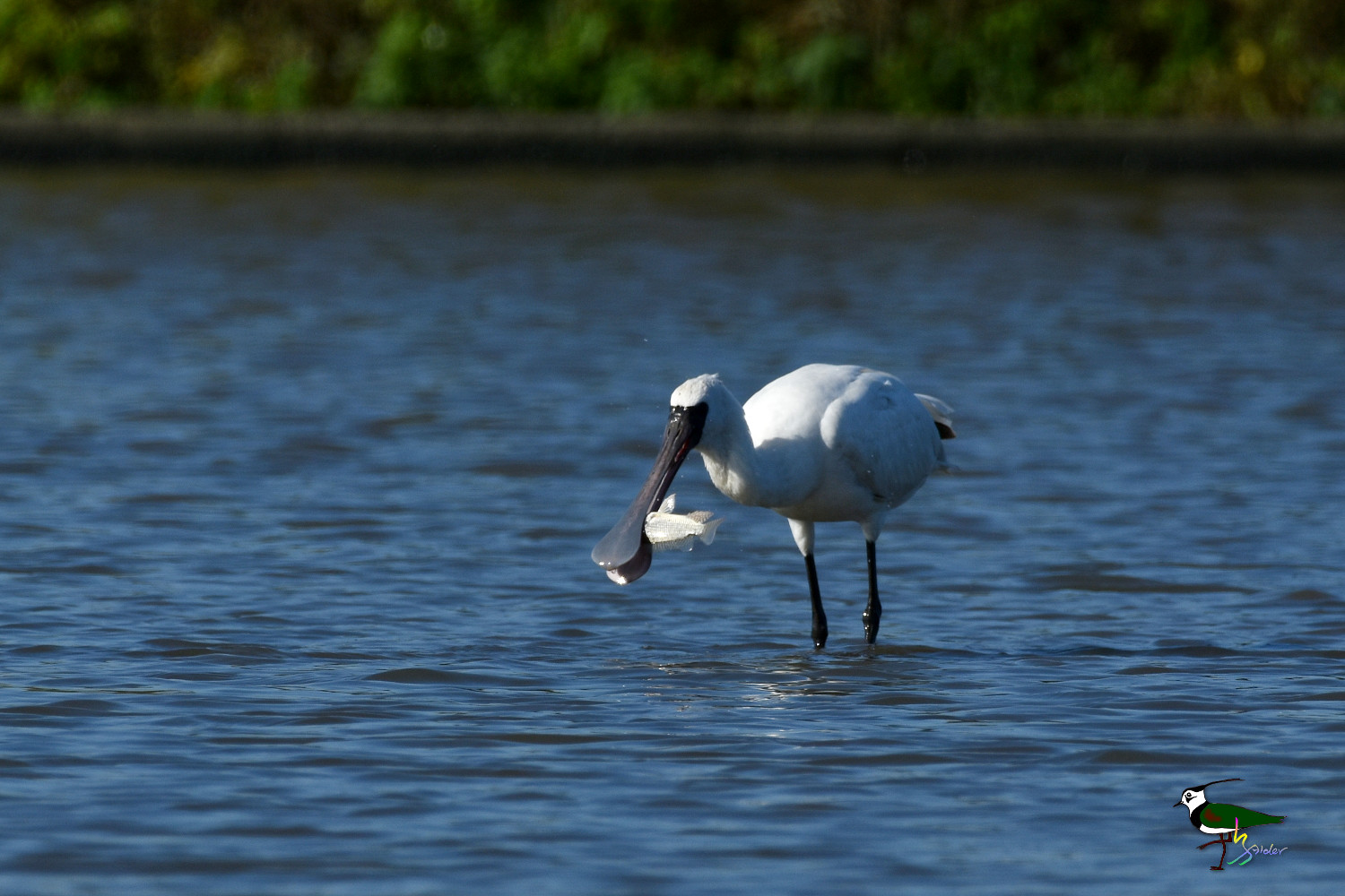 Black-faced_Spoonbill_9787