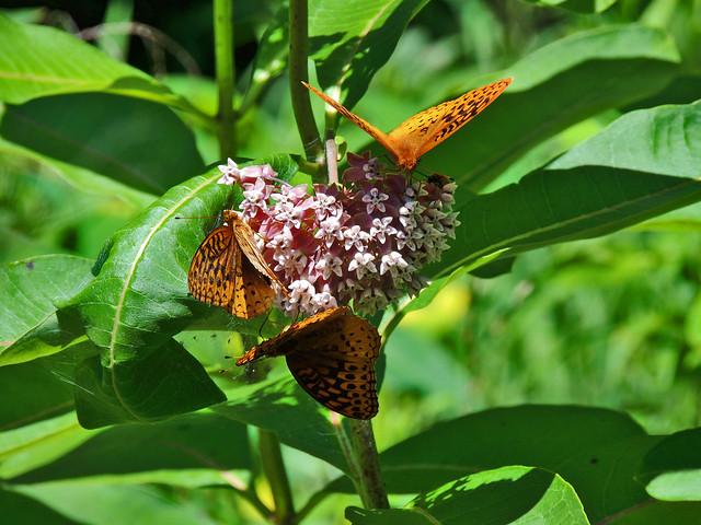 Butterflies in Bedford