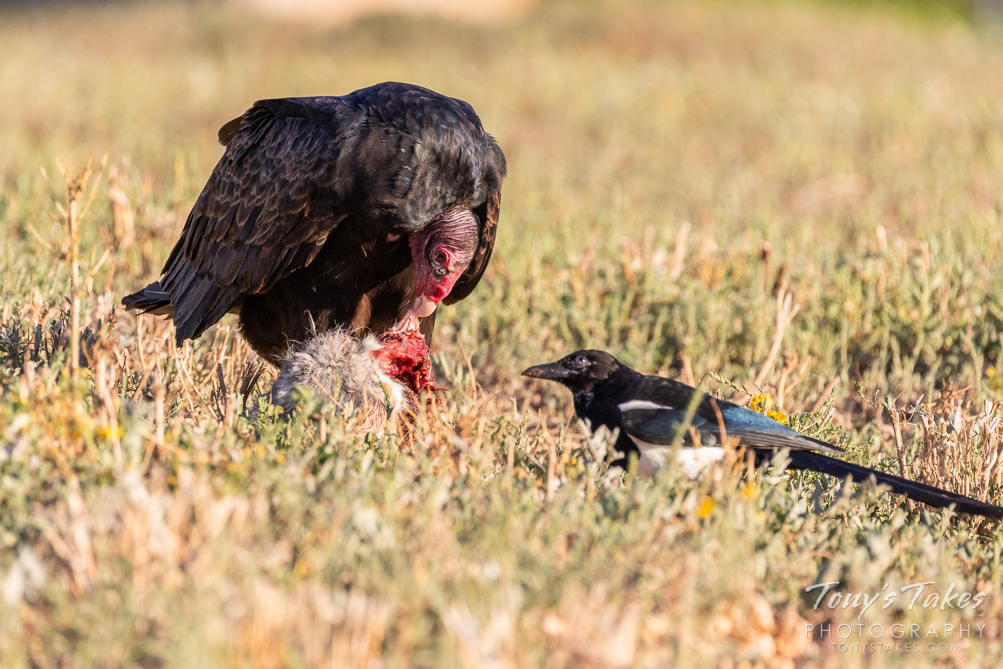 A Turkey Vulture dines on a rabbit while a Magpie waits for its turn. (© Tony's Takes)