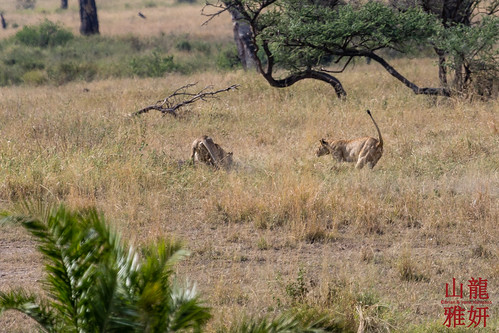 Lions Hunting a mongoose | by DragonSpeed