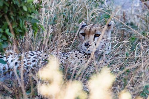 Serengeti_17sep18_05_ghepard | by Valentin Groza