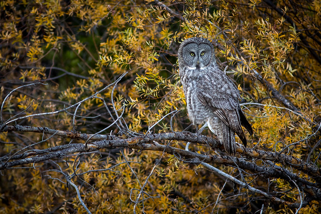 Great Gray Owl in Fall Colors