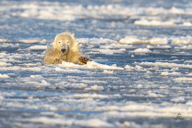 Polar Bear Ice Diving