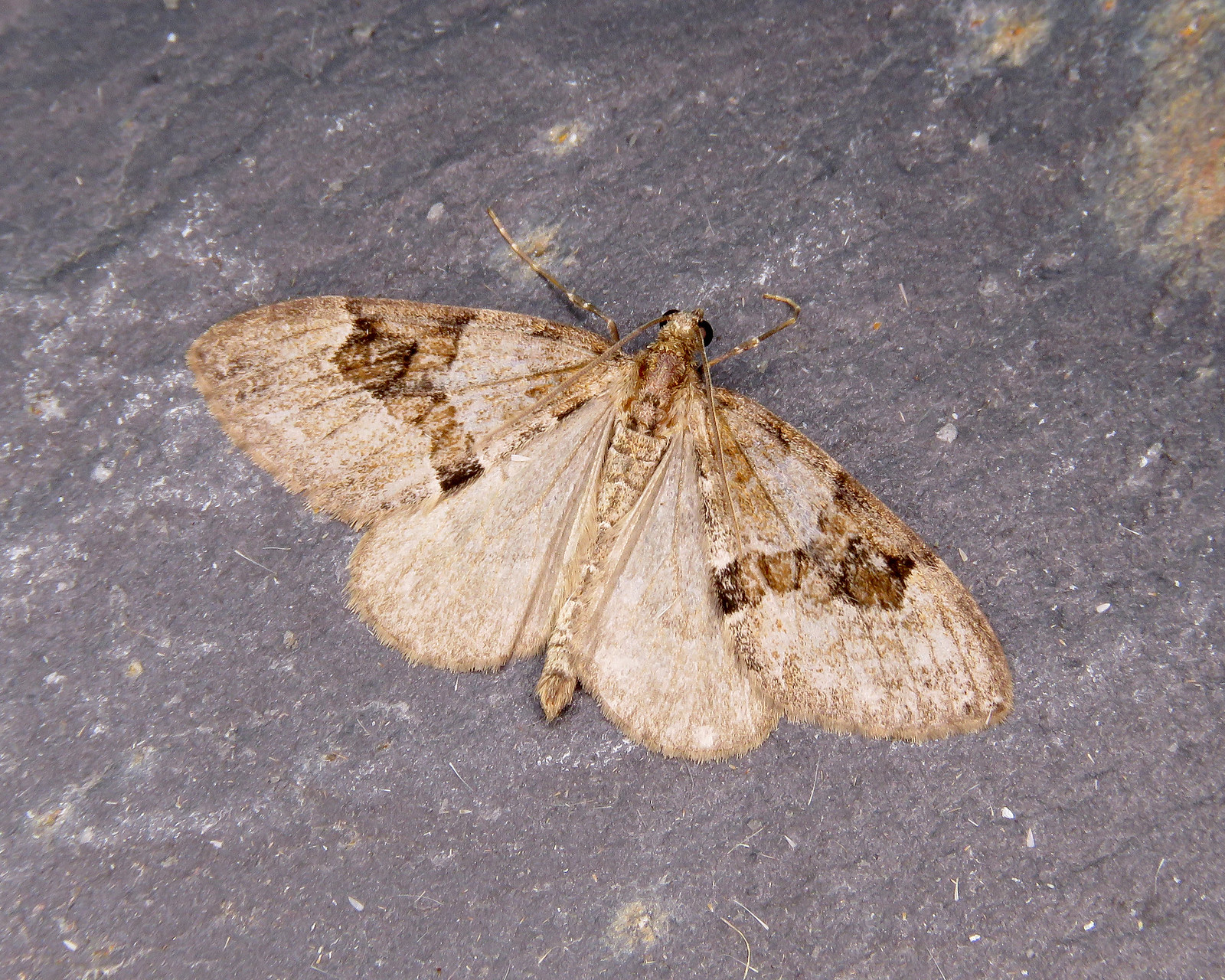70.081 Grey Pine Carpet - Thera obeliscata