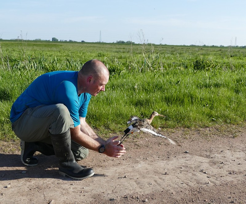 Black-tailed godwit released with geolocator Jen Smart RSPB