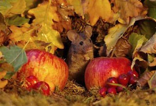 Autumn mouse  with apples  (5)
