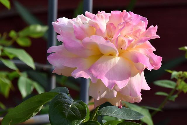 Pastel Rose.