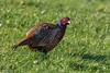 Pheasant, Phasianus colchicus by Kevin B Agar