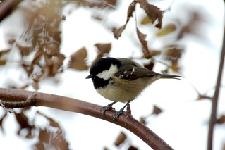 Coal Tit | by cobaltfish