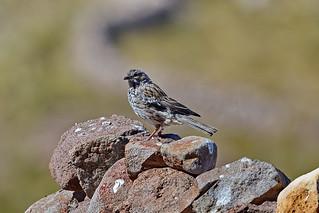 Кустарниковый овсяночник, Rhopospina fruticeti coracina, Mourning Sierra-Finch | by Oleg Nomad