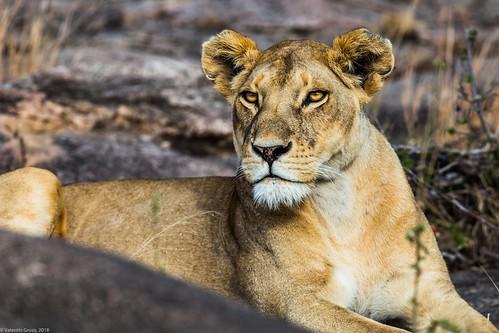 Serengeti_17sep18_08_mama leone2 | by Valentin Groza